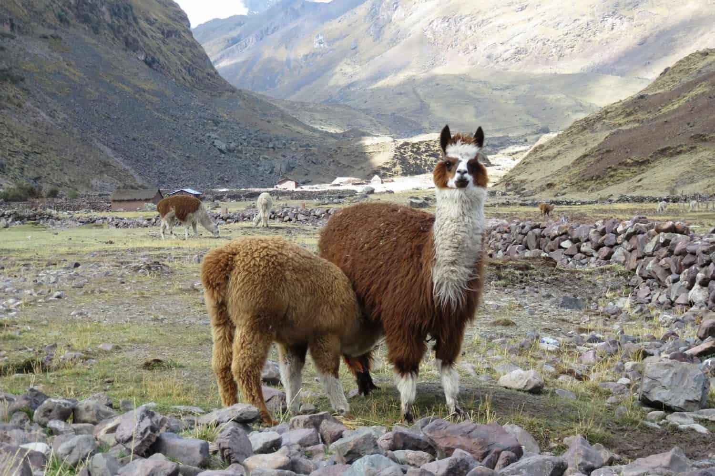 Alpacas Lares trek Peru