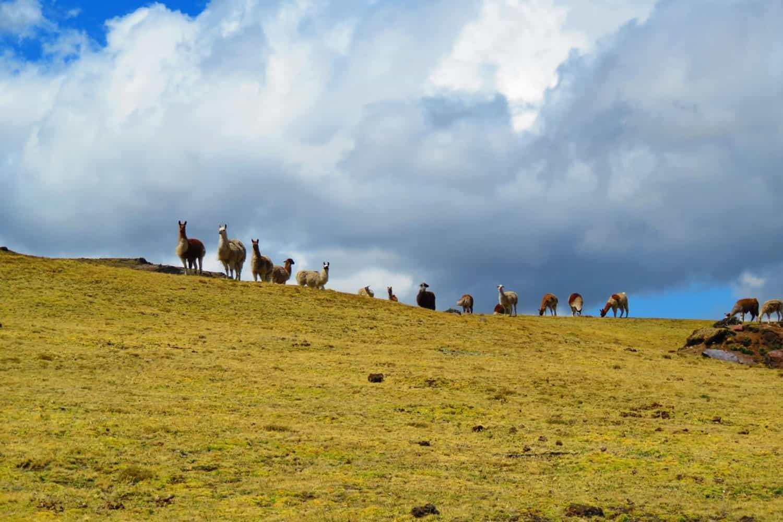 Lares trek group of alpacas