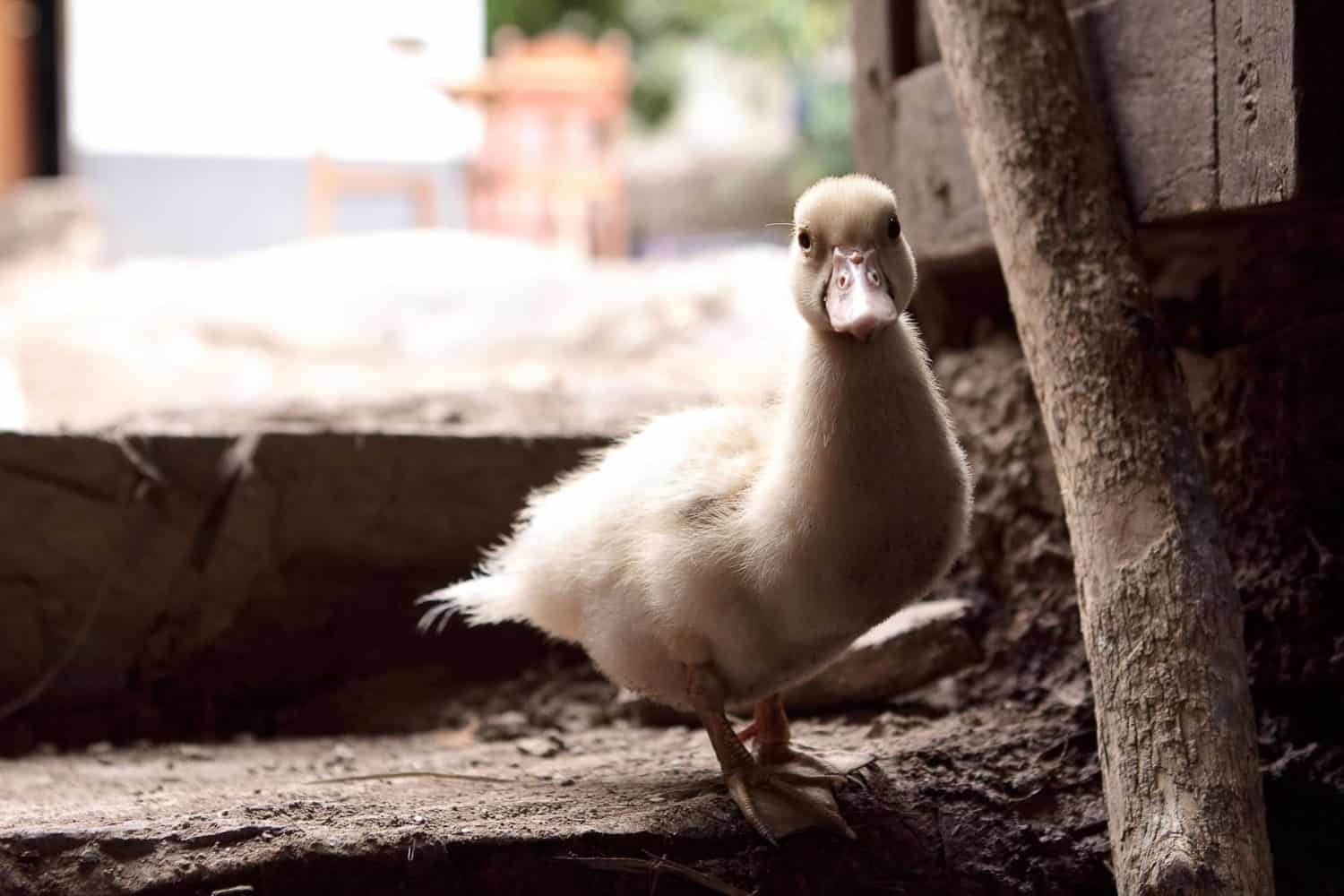 Lucmabamba homestay duckling